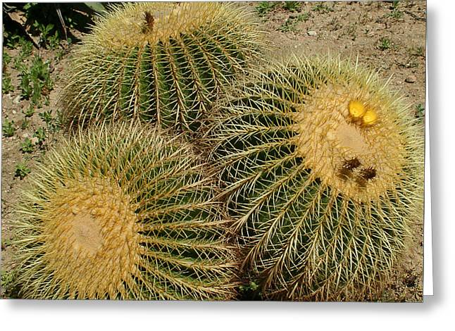 Thorny Desert Plant Greeting Cards - Barrel Cacti Greeting Card by Ellen Henneke