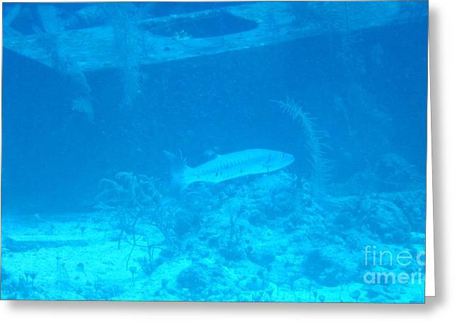 Water Grouper Print Greeting Cards - Barricuda Greeting Card by John Malone