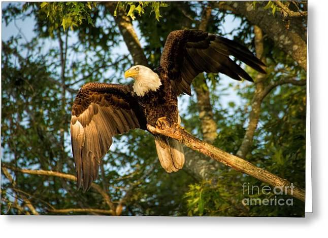 Eagle Greeting Cards - Barrington Eagle 2014 Greeting Card by Heidi Piccerelli