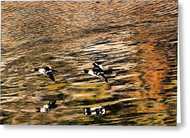 Seabirds Greeting Cards - Barrows Goldeneyes Over the Ocean Greeting Card by Peggy Collins