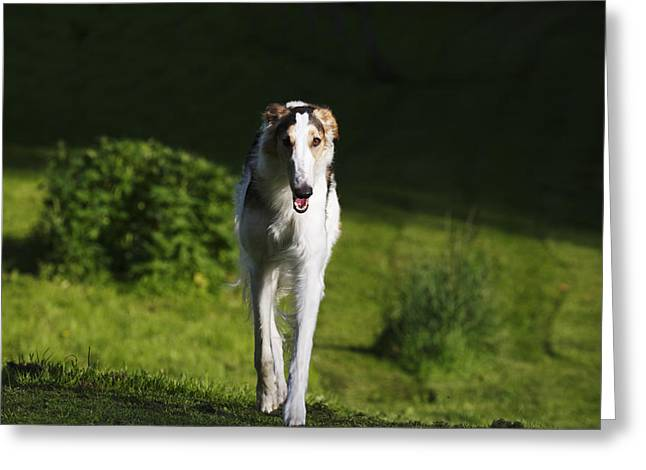 Sight Hound Greeting Cards - Barzoi hound running in a woolf like posture Greeting Card by Christian Lagereek