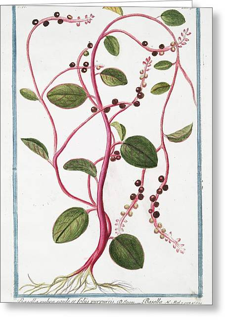 Basella Rubra Greeting Card by Rare Book Division/new York Public Library