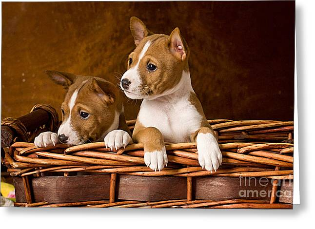 Puppies Mixed Media Greeting Cards - Basenji Puppies Greeting Card by Marvin Blaine