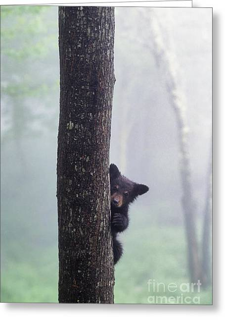 Climb Tree Greeting Cards - Bashful Bear Cub - FS000230 Greeting Card by Daniel Dempster