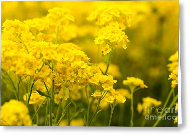 Neophyte Greeting Cards - Basket Of Gold In Spring Greeting Card by Armin Staudt