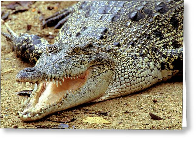Basking Saltwater Crocodile, Also Known Greeting Card by Thomas Wiewandt