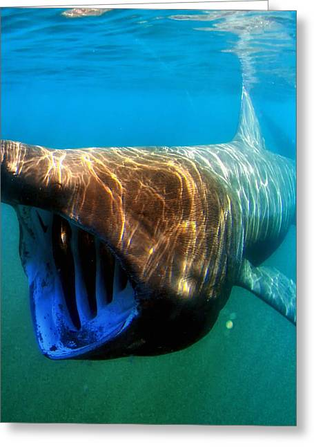 Bask Greeting Cards - Basking Shark Greeting Card by Mountain Dreams