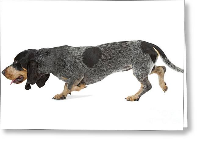 Dog Walking Greeting Cards - Basset Bleu De Gascogne Greeting Card by Jean-Michel Labat