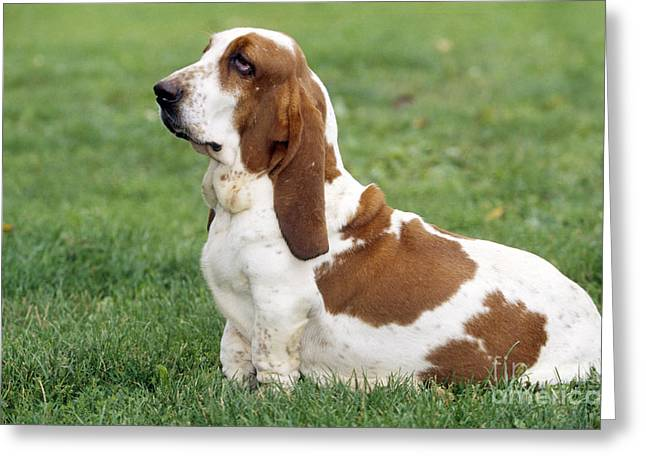 Droopy Greeting Cards - Basset Hound Dog Greeting Card by Jean-Michel Labat