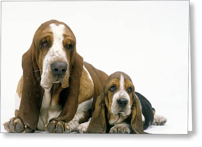 Droopy Greeting Cards - Basset Hound Dogs Greeting Card by Jean-Michel Labat