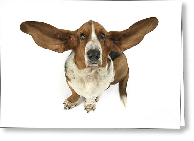 Ears Up Greeting Cards - Basset Hound Greeting Card by John Daniels
