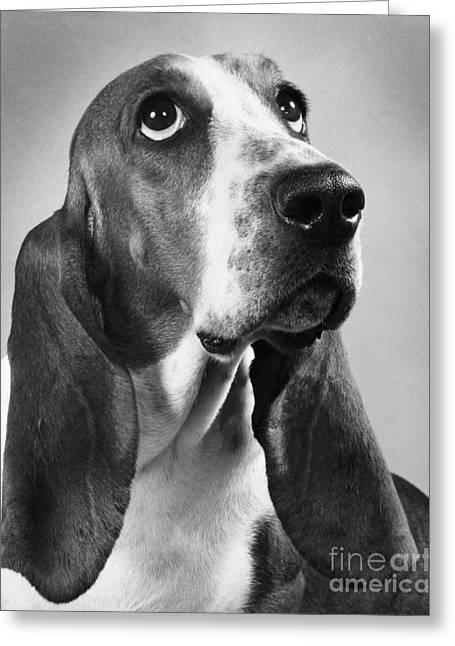 Droopy Greeting Cards - Basset Hound Greeting Card by M E Browning