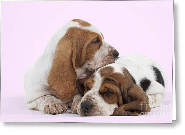 Canid Greeting Cards - Basset Hound Puppies Greeting Card by Jean-Michel Labat