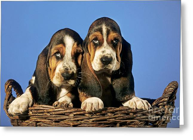 Grumpy Face Greeting Cards - Basset Hound Puppies Greeting Card by Johan De Meester