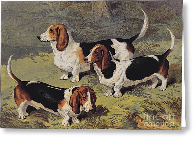White Dogs Greeting Cards - Basset Hounds Greeting Card by English School