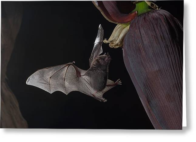 Night Photography Workshop Greeting Cards - Bat and flower Greeting Card by Chris Jimenez