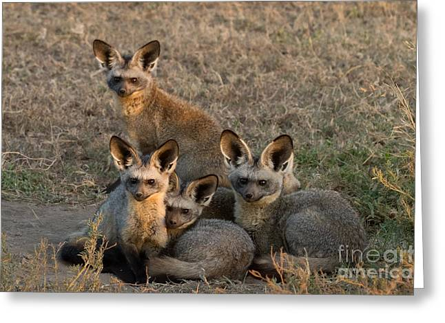 Bat-eared Foxes Greeting Card by Chris Scroggins
