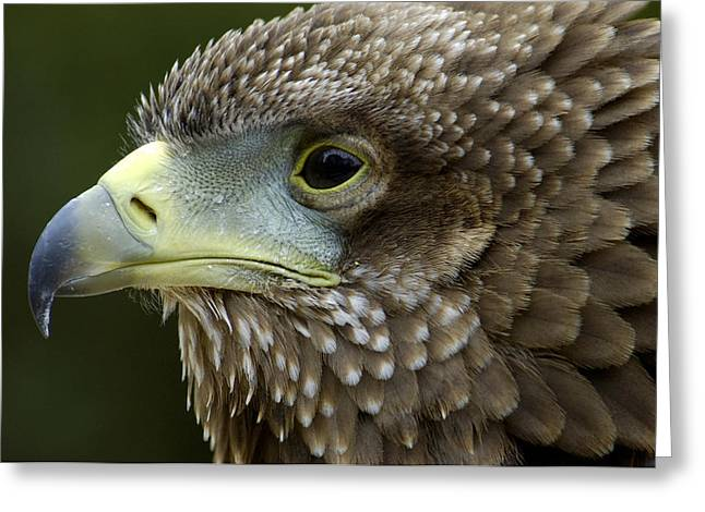 Malcolm Young Greeting Cards - Bateleur Eagle Juvenile Africa Greeting Card by Malcolm Schuyl