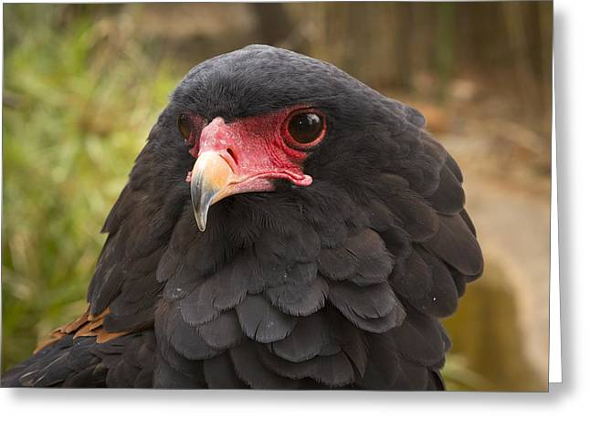 Zimbabwe Greeting Cards - Bateleur Eagle Zimbabwe Greeting Card by Michael Durham