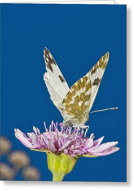 Eating Entomology Greeting Cards - Bath white feeding on mountain scabious Greeting Card by Science Photo Library
