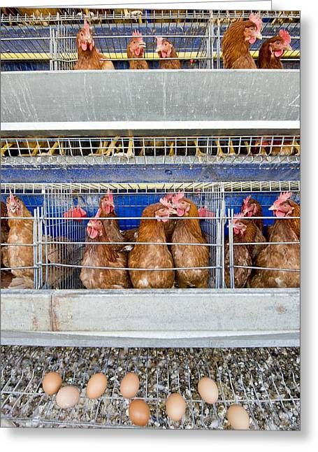 Chicken Laying Eggs Greeting Cards - Battery hens on a farm Greeting Card by Science Photo Library