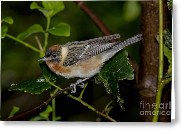 Setophaga Greeting Cards - Bay-breasted Warbler Greeting Card by Anthony Mercieca