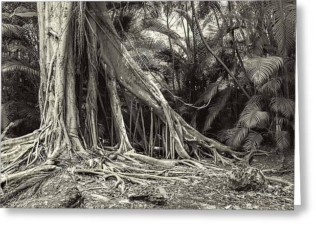 Ficus Aurea Greeting Cards - Strangler Fig Greeting Card by Rudy Umans