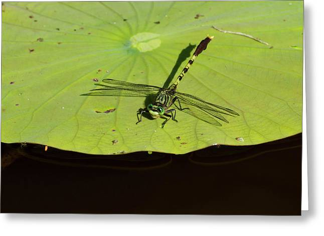 Bayon Clubtail Dragonfly (arigomphus Greeting Card by Larry Ditto