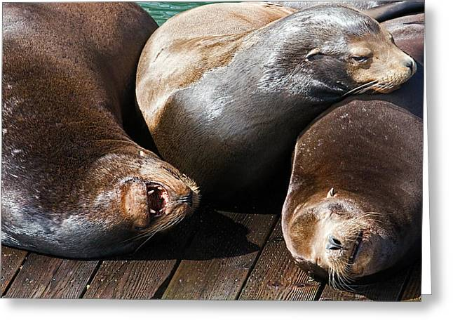 California Sea Lions Greeting Cards - Newport Sea Lions 1 Greeting Card by Greg Hjellen