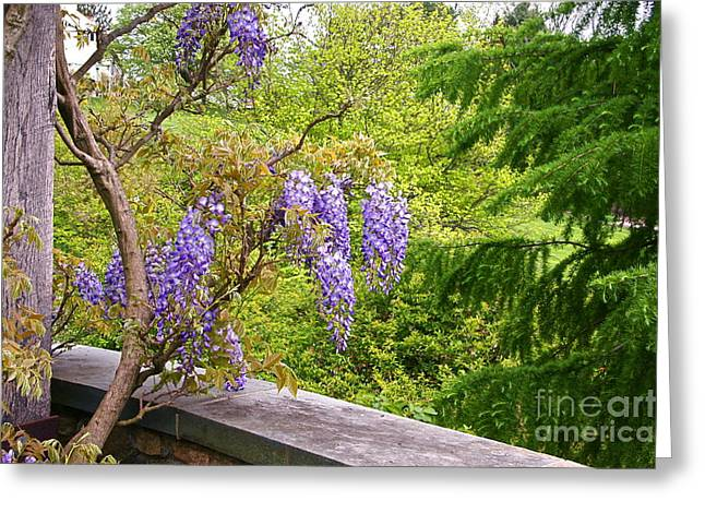 Wisteria In Bloom Greeting Cards - Be There Now -- First of May Pennsylvania Greeting Card by Byron Varvarigos