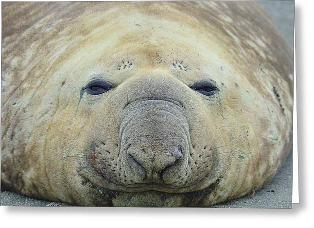 Elephant Seals Greeting Cards - Beach Bum Greeting Card by Tony Beck