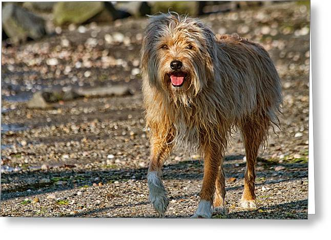 Wet Hair Greeting Cards - Beach Dog Greeting Card by Karol  Livote