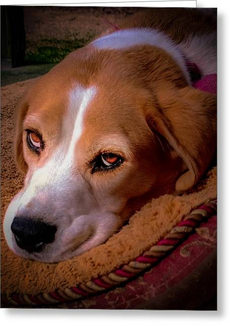 Beagle Greeting Cards - Beagle Blues Greeting Card by Karen Wiles