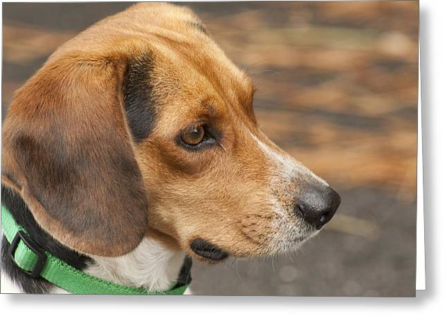 Recently Sold -  - Best Friend Greeting Cards - Beagle Loyalty Greeting Card by Kathy Clark