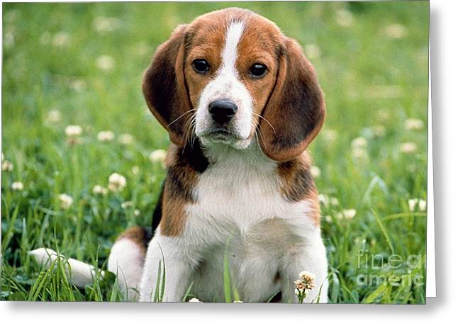 Dog Greeting Cards - Beagle Greeting Card by Marvin Blaine