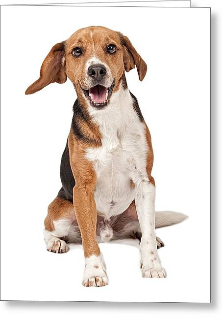 Beagle Greeting Cards - Beagle Mix Dog Isolated on White Greeting Card by Susan  Schmitz
