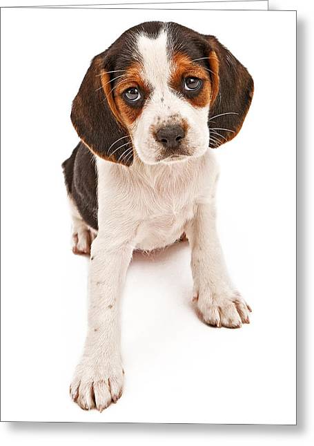 Pet Photographs Greeting Cards - Beagle mix puppy with sad look Greeting Card by Susan  Schmitz