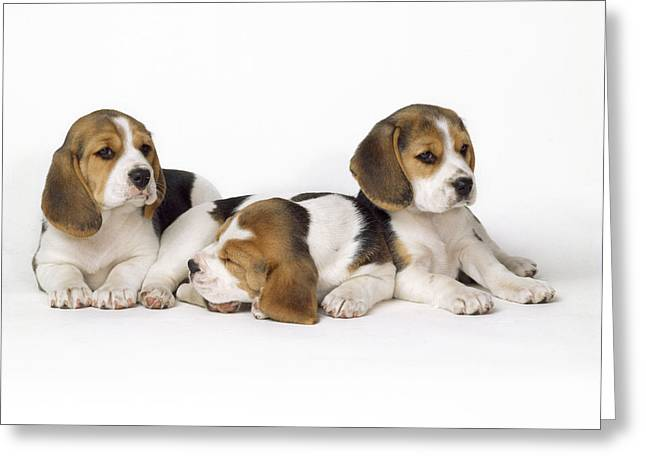 Beagle Puppies, Row Of Three, Second Greeting Card by John Daniels