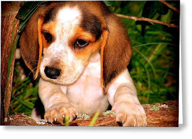 Beagle Puppies Print Greeting Cards - Beagle Puppy 1 Greeting Card by Lynn Griffin