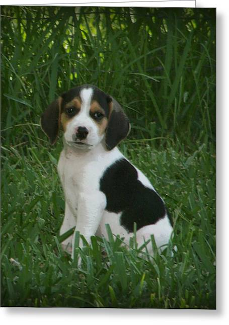 Beagle Puppies Print Greeting Cards - Beagle Puppy 4 Greeting Card by Lynn Griffin