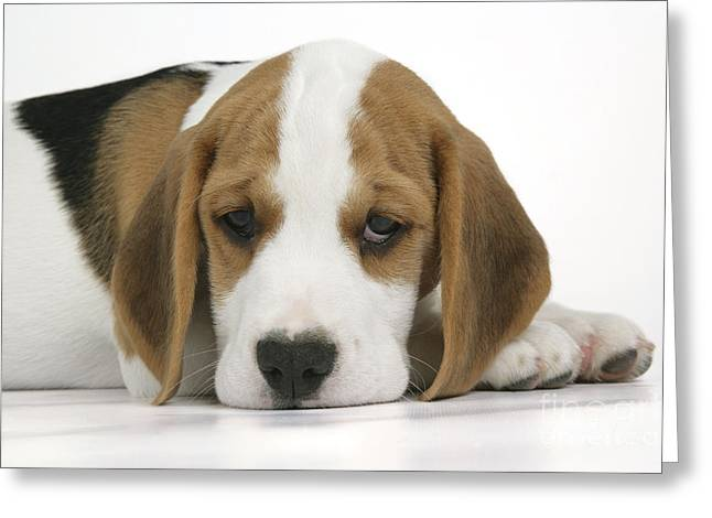 Droopy Greeting Cards - Beagle Puppy Dog Greeting Card by John Daniels