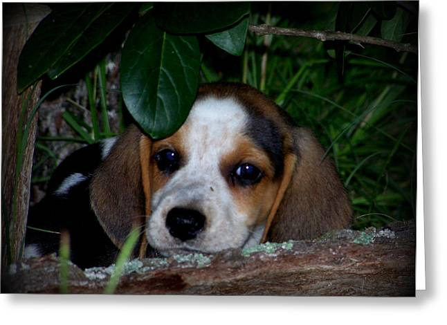 Beagle Puppies Print Greeting Cards - Beagle Puppy Greeting Card by Lynn Griffin