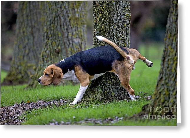 Urinating Greeting Cards - Beagle Urinating Greeting Card by Johan De Meester