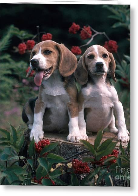 Beagles Greeting Card by Hans Reinhard