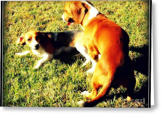 Dogs Digital Greeting Cards - Beagles Playing Greeting Card by Meagan Hoelzer