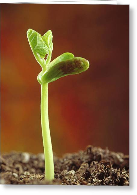 Green Beans Greeting Cards - Bean Phaseolus Hybrid Seedling Greeting Card by Gerry Ellis