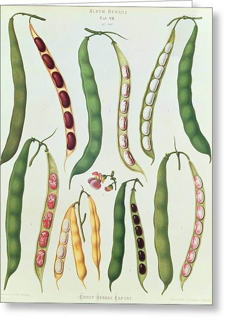 Runner Greeting Cards - Beans Greeting Card by Ernst Benay
