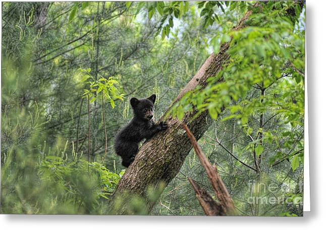 Growling Greeting Cards - Bear cub climbing tree pausing to look Greeting Card by Dan Friend