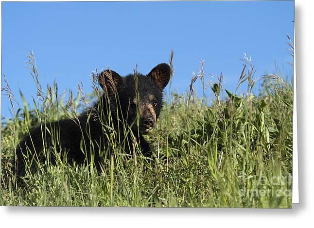 Wild Animals Greeting Cards - Bear cub Summer School Greeting Card by Wildlife Fine Art