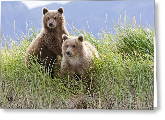 Alert Bay Greeting Cards - Bear Cubs Standing On A Riverbank At Greeting Card by Kent Fredriksson